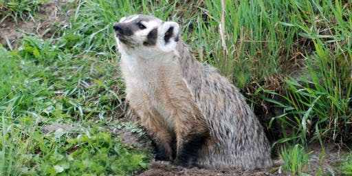 Badgers in your Backyard – A Glimpse into the Ecology of an Important Grassland Predator