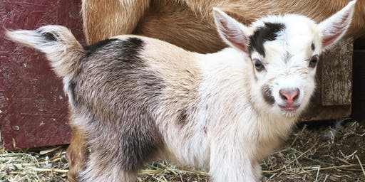 Baby Goat Yoga at The CABRA Farmhouse