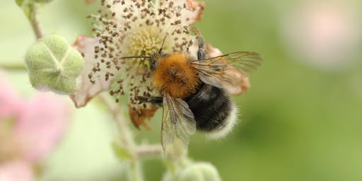 Bumblebees for Beginners