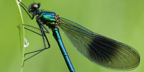 Identifying Dragonflies and Damselflies