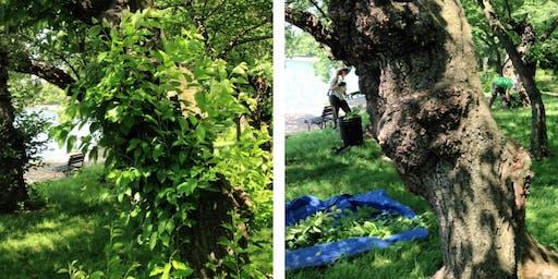 Volunteer: Cherry Tree Pruning June 29th