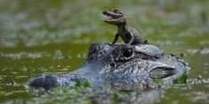 BABY Gator Photo Shoot in the beautiful Okefenokee. (Home of Kermit the Frog)