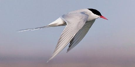 Skuas, Gulls and Terns tickets