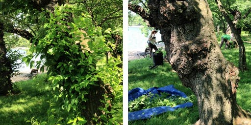 Volunteer: Cherry Tree Pruning August 10th