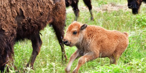ROAM Ranch Bison Calves Tour