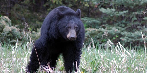 Living with Black Bears