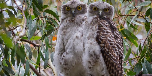 Downtown lecture- Australian raptors – a photographic journey