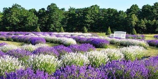 Lavender Tour & Picnic