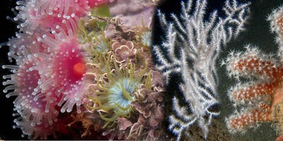 Short Course: Introduction to British anemones and corals