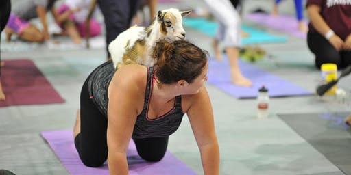 Denver County Fair: Goat Yoga