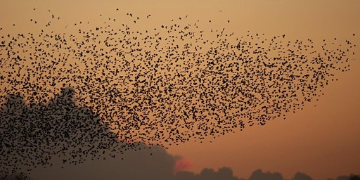 Walks with Wardens - Sunrise with Starlings at RSPB Ham Wall