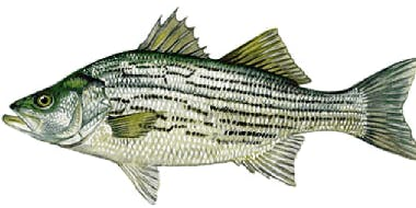 2nd Annual Striped Bass Tournament - June 9 - June 16