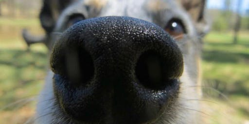 Introduction to Scentwork  - Detection Dog Training