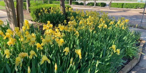 Growing Bearded Irises