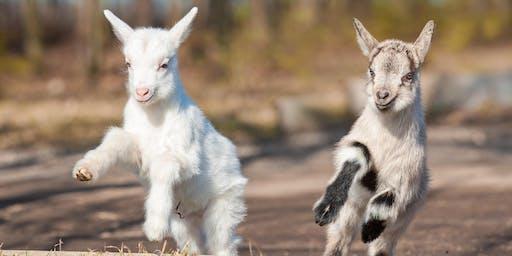 Baby Goat Yoga (Goga)