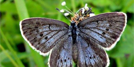 Zoom sur les papillons azurés Maculinea billets