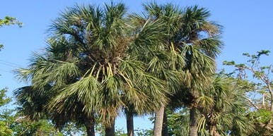 All About Palms: Palm Selection and Maintenance in Pinellas County