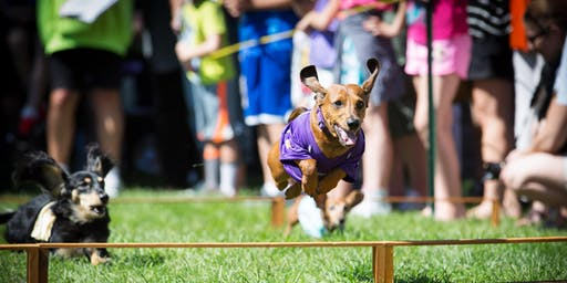 Dachshund Races - James J. Hill Days 2019