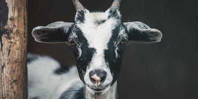 Goat Yoga at Strohmer's Farm