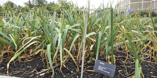Growing Garlic and Winter Gardening