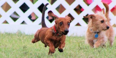 Dachshund Races and Rescued Dog Reunion