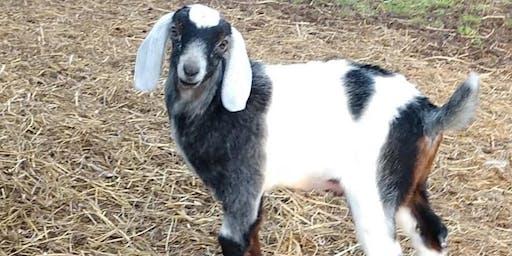 Goat 911 2.0- The #1 Killer