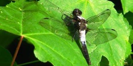 Trésors naturels du parc La Fontaine : les odonates billets
