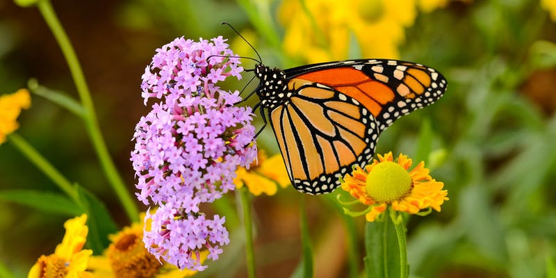 Monarchs and More - Butterfly Workshop