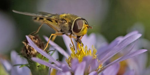 Meet the Hoverfly
