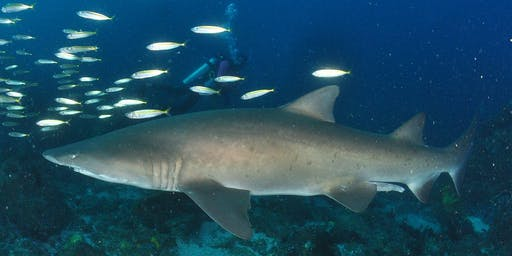 Sharks: our ocean guardians, and the importance of eating sustainable seafood
