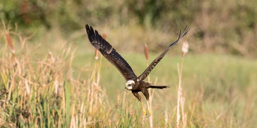 Harrier Watch and Survey at RSPB Titchwell Marsh