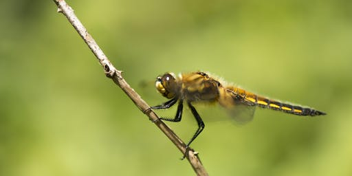 Darting dragonflies and dazzling damselflies at RSPB Fen Drayton Lakes