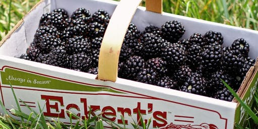 BLACKBERRY PICKING WITH NHC
