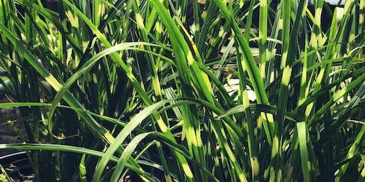 Education Series: Top 10 Ornamental Grasses in the Landscape - Mahomet, IL