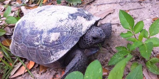 Gopher Tortoise: Superhero of the scrub, pine, and coastal dunes
