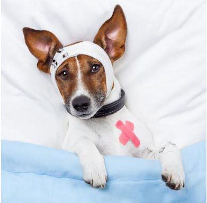 dog with bandage