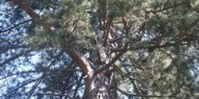 Conifers at Bedgebury Pinetum