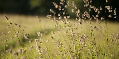 Common Grasses, Sedges and Rushes of Nottinghamshire