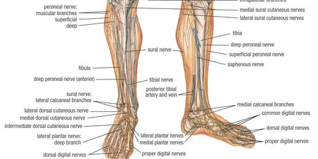 Detailed Lower Limb Anatomy Refresher - College of Podiatry Members Only tickets