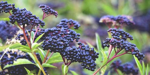 Elderberry 101: Make Your Own Syrup
