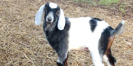 Berlin TSC Goat 911