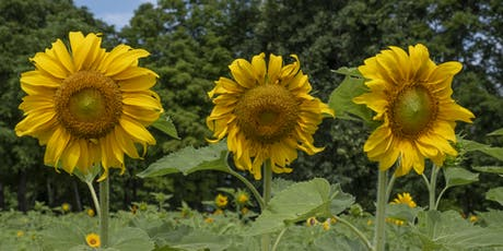 """Carolyn's Garden"" Sunflower Festival tickets"