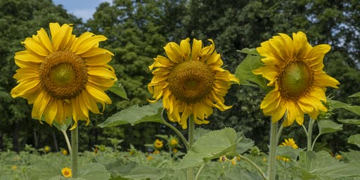 """Carolyn's Garden"" Sunflower Festival"