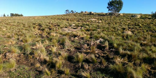 Controlling Serrated Tussock (and other needle grasses) and Artichoke Thistle