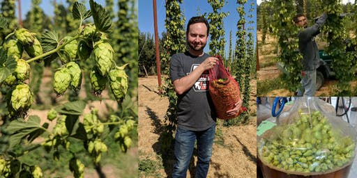 Fresh Hop Brew Day: Brew with Hops Right Off the Vine