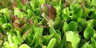 UA Hydroponic Lettuce and Leafy Greens Workshop