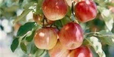 Apple grafting demonstration