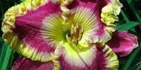 Daylily Show and Competition--Open to Public