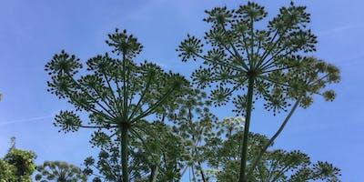 Engelwurz im botanischen Garten Frankfurt