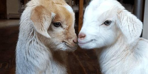 Baby Goat Gatherings 6/22/19 at 11::30 am